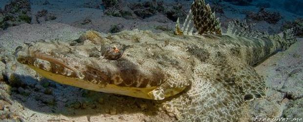 Рыба-крокодил