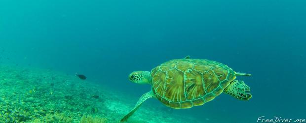 Фридайв-путешествие. Гили Траванган. Ныряние с черепахами