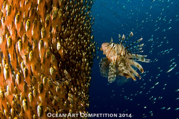 "Ilan Ben Tov ""Lionfish Staring at its Lunch"" Shot in Eliat, Israel"