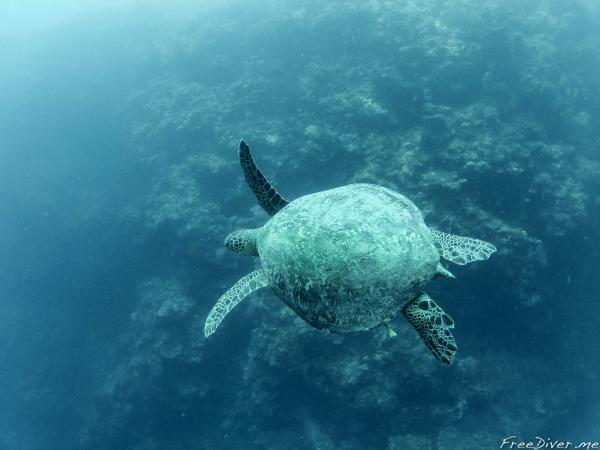 черепаха на о.Менджанган