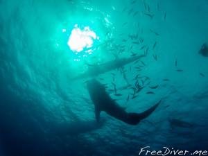 Ныряние с китовыми акулами на о.Себу