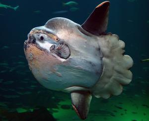 Mola-mola - рыба-луна
