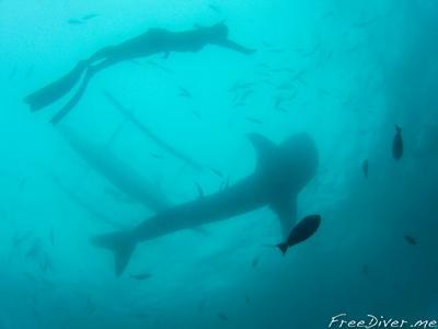 Фридайвинг с китовыми акулами